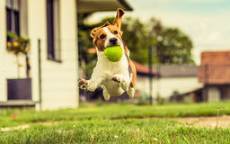 Beagle dog jump garden stock photo