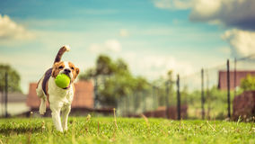Beagle jump. Portrait of a running beagle dog with a green spiky ball stock image