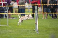 Beagle jumping on agility Royalty Free Stock Photos