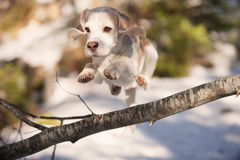 Beagle jumping over fallen tree Royalty Free Stock Photo