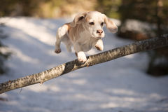Beagle jumping over obstacle Stock Images