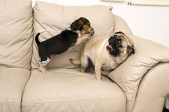 Beagle Jumping on Pug Royalty Free Stock Image