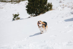 Beagle jumping in snow Stock Photography