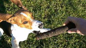 Beagle jumping to grab a wooden stick, slow motion. Hd video stock footage