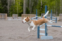 Beagle jumps over an agility hurdle Royalty Free Stock Photos