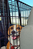 Beagle in Kennel Stock Photo
