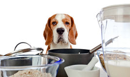 Beagle in kitchen Stock Images