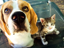 Beagle and kitten Stock Images