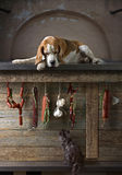 Beagle, kitten and smoked sausage. Royalty Free Stock Images