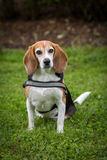 Beagle lady Royalty Free Stock Images