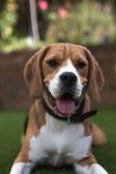 Beagle laying down looking at camera Royalty Free Stock Image