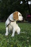 Beagle with leash in a park. In Sofia city stock photos