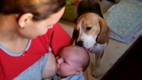 Beagle liże dziecka ` s głowę zbiory wideo