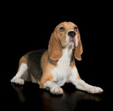 Beagle śliczny szczeniak Obraz Royalty Free