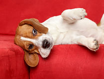 Beagle lies on red sofa Royalty Free Stock Images