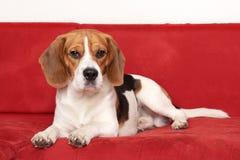 Beagle lies on red sofa Stock Photo