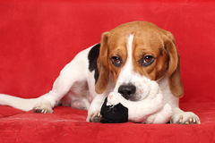 Beagle lies on red sofa Stock Photography