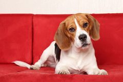 Beagle lies on red sofa Royalty Free Stock Image
