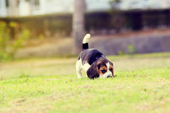 Beagle lindo imagen de archivo