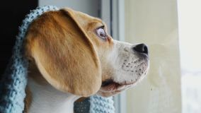 Beagle lindo del perro que se sienta en una manta azul, mirando hacia fuera la ventana y esperando al dueño C?mara lenta, primer almacen de metraje de vídeo