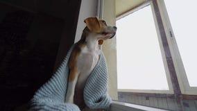 Beagle lindo del perro que se sienta en una manta azul, mirando hacia fuera la ventana y esperando al dueño C?mara lenta, primer metrajes