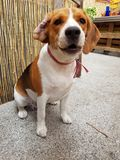 Beagle lindo en el jardín foto de archivo