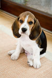 Beagle lindo en sala de estar imagenes de archivo