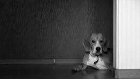 Beagle lindo que miente en el piso en casa y miradas fijas en la cámara, centellando almacen de metraje de vídeo