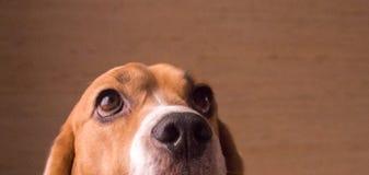 Beagle lindo tricolor Imagen de archivo libre de regalías