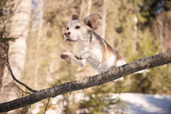 Beagle on a long jump over the branch Royalty Free Stock Image