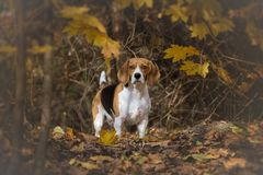 Beagle looking alert in wood Royalty Free Stock Photography