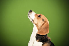 Beagle looking attentive Royalty Free Stock Image