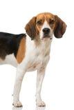 Beagle Royalty Free Stock Image