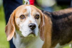 Beagle looking past camera Stock Images