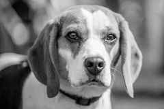 Beagle looking past camera Stock Photography