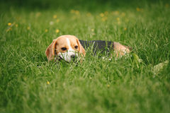 Beagle lying on the beach w trawie Fotografia Royalty Free