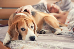 Beagle lying in bed with his sleeping owner royalty free stock image