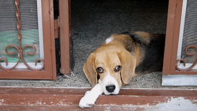 Beagle lying at door stock video