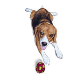 Beagle lying down on white background Royalty Free Stock Photography