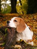 Beagle lying on the ground and resting its head on. The tree root in autumn Royalty Free Stock Photography