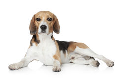 Beagle lying on white background Royalty Free Stock Photography