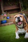 Beagle ma zabawę kłaść w dół Fotografia Royalty Free
