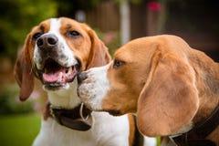 Beagle ma zabawę Obrazy Royalty Free