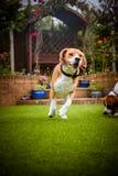 Beagle ma zabawa bieg Fotografia Stock