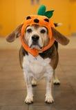 Beagle mayor que lleva un traje de la calabaza de Halloween en su cabeza Fotografía de archivo libre de regalías