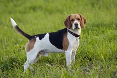 Beagle on meadow Royalty Free Stock Photo