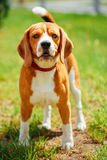 Beagle On Meadow - Pedigree Dog Stock Photo