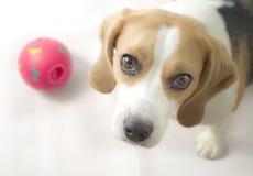 Beagle med bollen Arkivfoto