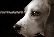 Beagle med ljus Fotografering för Bildbyråer