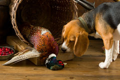 Beagle meeting pheasant Stock Photography